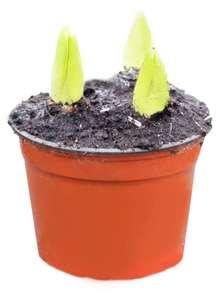 Гиацинт в горшке ЕТК 15 см, 3 луковицы от 29₽ (цена зависит от города)